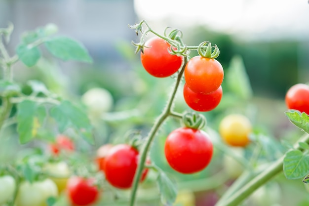 Red currant tomato in the kitchen garden.