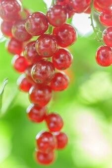 庭の赤スグリ
