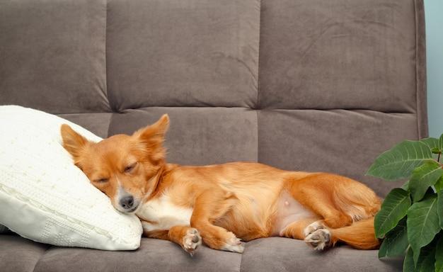 Красная милая маленькая собака спит на диване