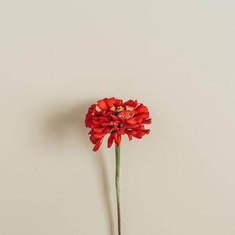 Red cynicism flower on beige surface
