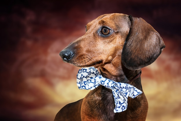 Рыжая такса собака с солнцезащитными очками или лук галстук шарфы