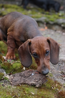 Red dachshund puppy playing outdoor