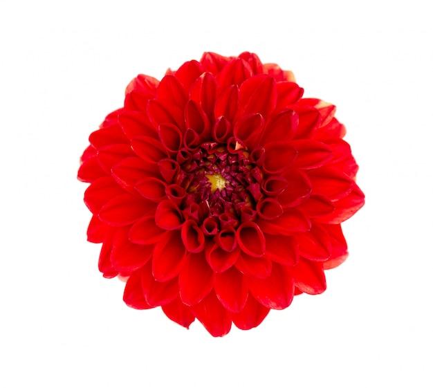 赤いダリアの花のトップビュー