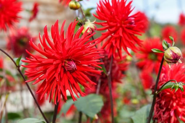レッドダリア。庭には赤い花が咲きます。花のクローズアップ。