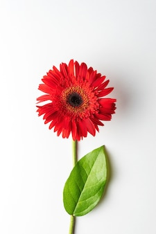 Red daisy flower with a leaf on white background.