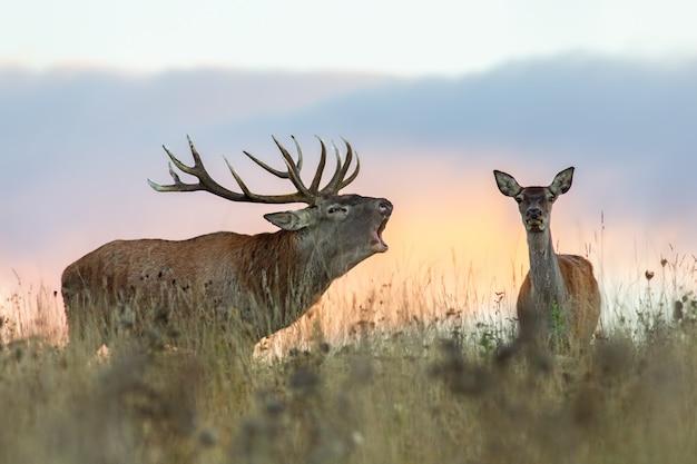 Rutting 시즌 동안 붉은 사슴, cervus elaphus, 커플.