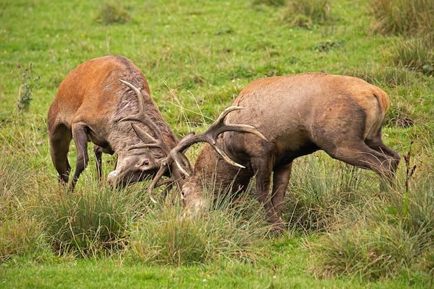 Благородный олень, cervus elaphus, борются во время колеи.