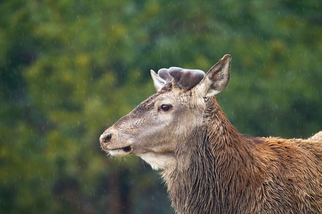 春の自然の中で枝角がベルベットで覆われたアカシカ、cervuselaphus。