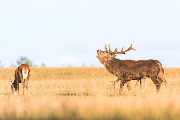 Red deer group with belling deer stag in autumn
