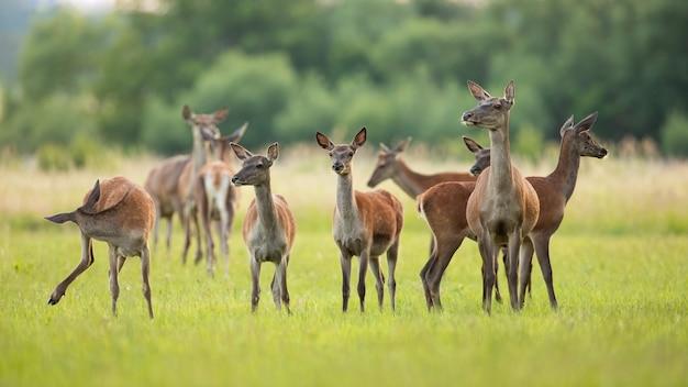 Стадо благородных оленей, стоя на зеленом лугу в весенней природе