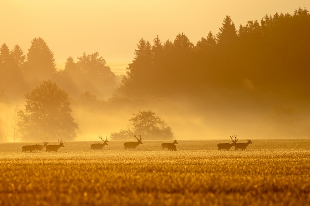 Red deer herd with stags on a field at sunrise