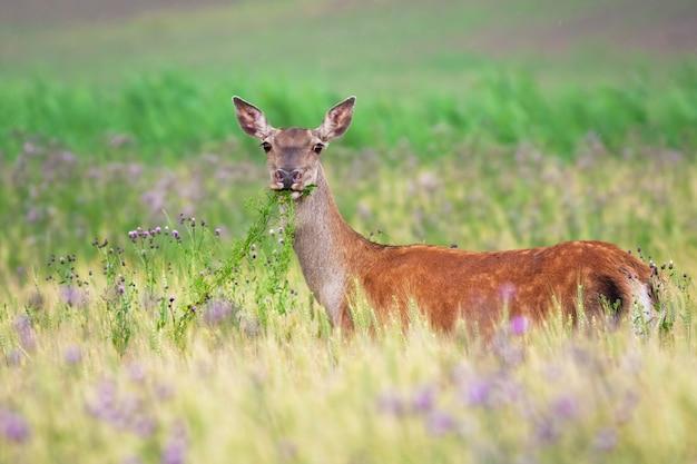 Красный олень задний корм на сельскохозяйственном поле в летней природе