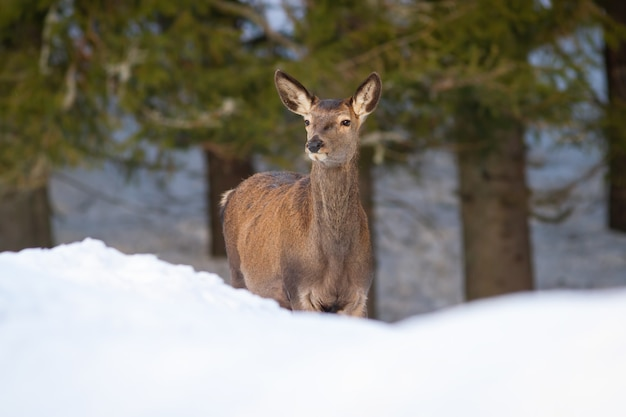 Red deer hind looking in forest in winter nature