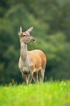 秋の牧草地に立っているアカシカの後ろ