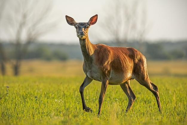 Red deer hind in summer at sunset.