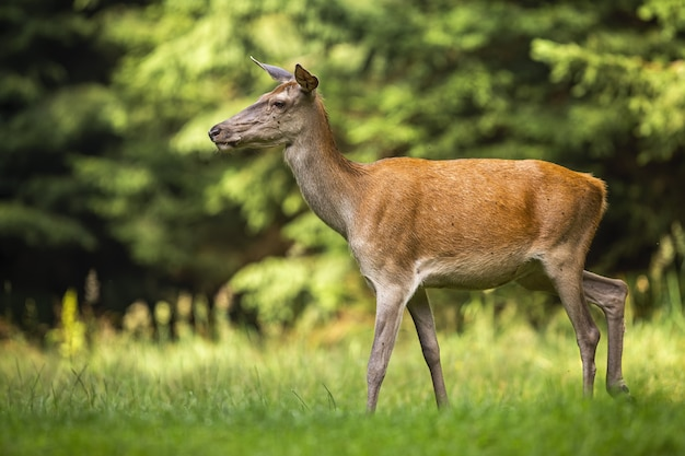 Red deer hind walking through tranquil meadow in nature