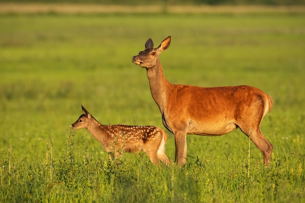 Red deer hind with calf walking at sunset