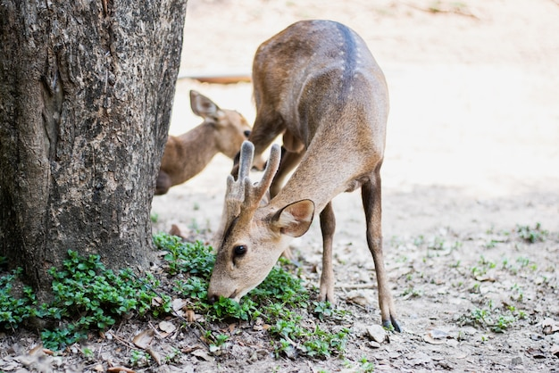 Red deer and hinds walking and eating grass at zoo