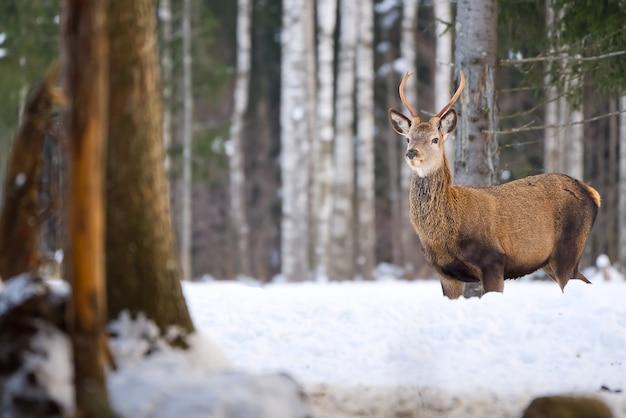 Благородный олень в лесном национальном парке в холодный зимний день
