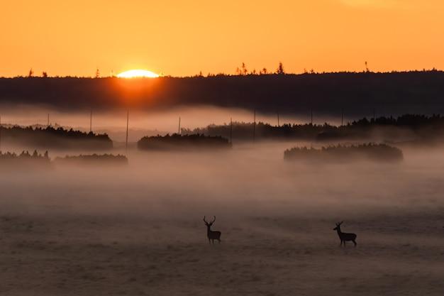 日の出の自然の中でアカシカ
