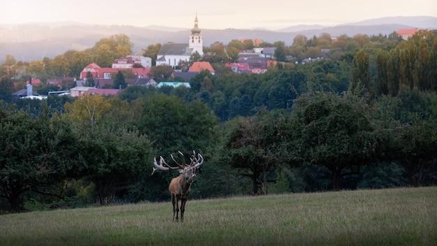 Благородный олень в естественной среде обитания во время оленьей гона европейской дикой природы