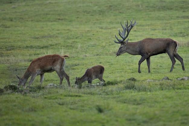 유럽 야생 동물 사슴의 틀에 박힌 동안 자연 서식지에 있는 붉은 사슴