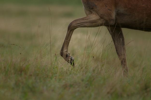 Благородный олень в естественной среде обитания во время оленьей гона