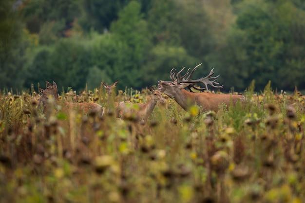 鹿のわだち掘れの間の自然生息地のアカシカ