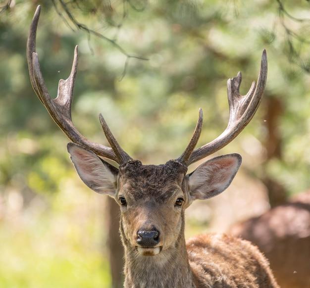 야생의 붉은 사슴, 초상화, 클로즈업, 선택적 초점. 이 동물은 모피, 뿔 및 고기로 인해 가치가 있습니다.