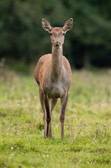 Благородный олень смотрит в камеру на поле осенью