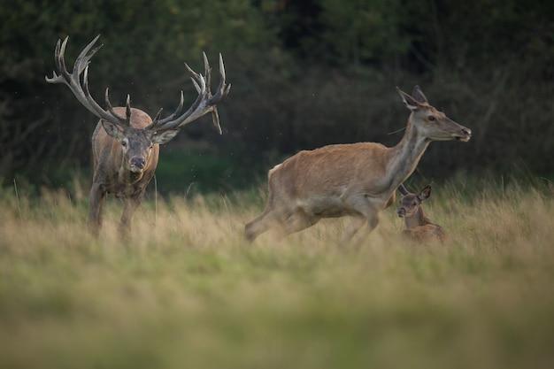 Cervi nell'habitat naturale durante il cervo rut