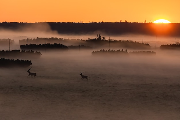Red deer in nature at sunrise