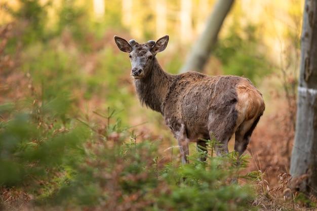 Наблюдение за благородным оленем в лесу в весенней природе