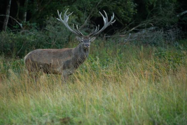 自然の生息地で鹿のわだちの間に緑の背景にアカシカ