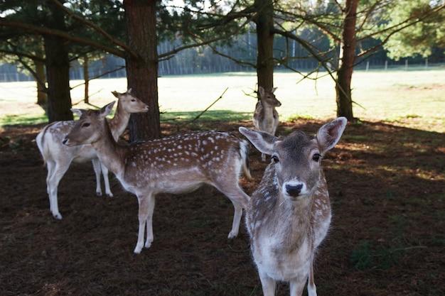 森の中のアカシカまたはヨーロッパの鹿。鹿の農場