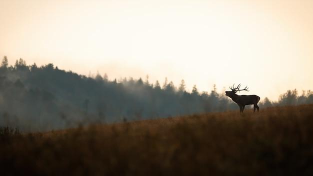 秋の丘で轟音を立てるアカシカ