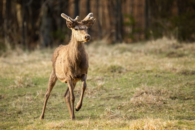 Red deer stag standing on dry meadow in springtime nature