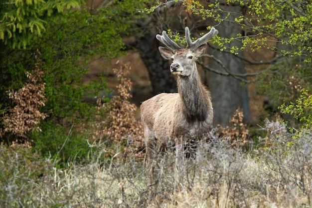 Благородный олень, стоящий в лесу в весенней природе