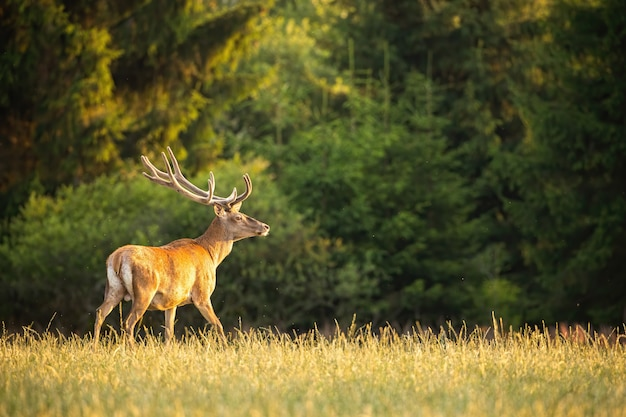 Red deer stag walking on glade with forest in background in summer at sunset