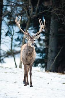 冬の自然の中で森の中を歩くアカシカのクワガタ。