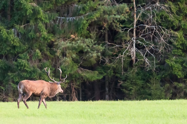 Red deer stag with big horns against green forest.