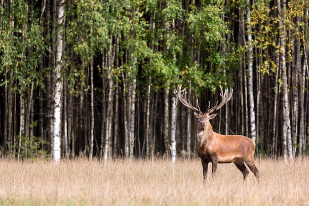 Red deer stag with big horns looking at camera against green birch forest.