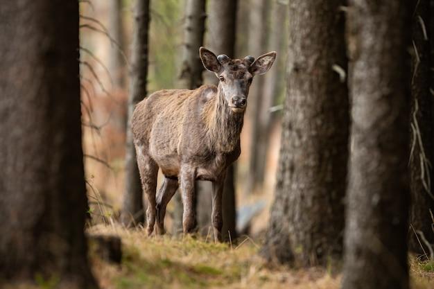 Благородный олень с растущими рогами гуляет в весеннем лесу