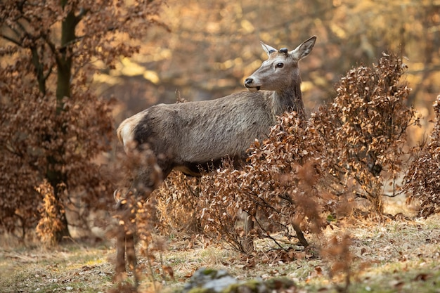 Red deer stag with new antlers covered in velvet