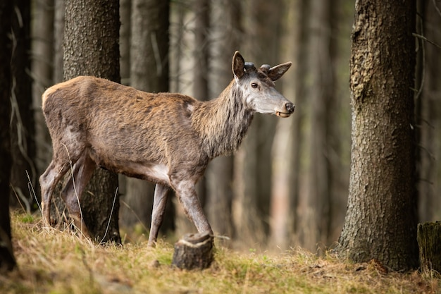 Red deer stag without shed antlers walking in forest in spring nature.
