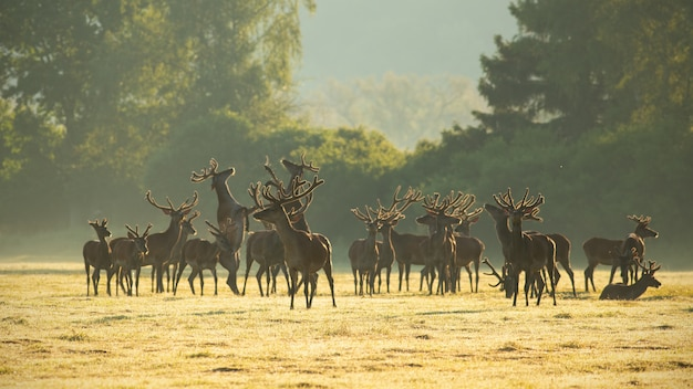 Red deer stags standing and fighting on a meadow