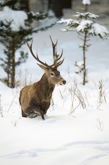 Red deer wading in the snowy and hard terrain