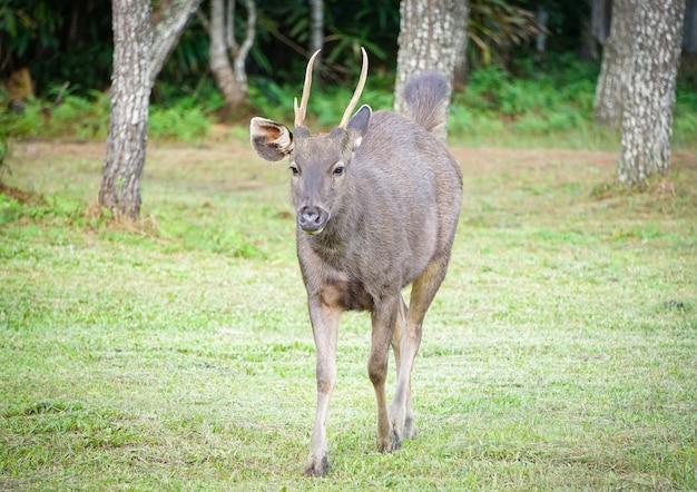 Red deer walking - male horned deer in the national park