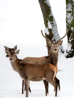 Red deer with family