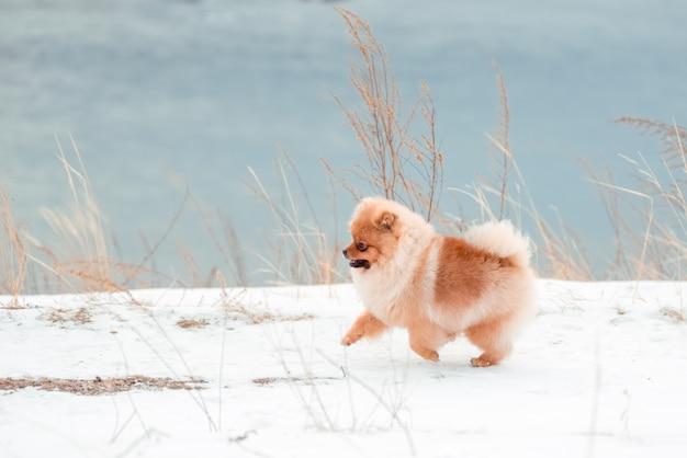 冬に丘を駆け抜ける赤犬種のポメラニアン。自由と美の概念。